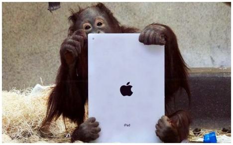 2 - Orangutani se svou novou hračkou