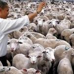 Netušené schopnosti ovcí: Poznají Baracka Obamu!