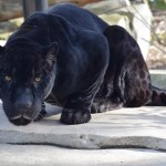 Černí jako tma: Jaká zvířata trpí melanismem?