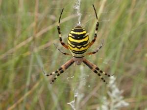 Pás cudnosti pro pavouky existuje!