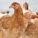 VIDEO: Vodní postel pro kuře