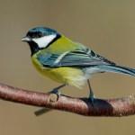 Sčítání ptáků na krmítkách ovládla koňadra