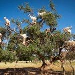 Kozy na stromech: Šplhají téměř lépe, než opice!