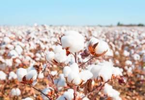 Bílé chomáčky: Věci, které jste netušili o bavlně