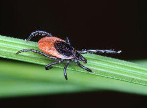 Českobudějovičtí parazitologové otestovali vakcínu proti lymské borelióze