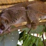 Záchranný program Kukang chrání outloně na Sumatře již 6 let