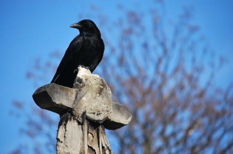 Vrány a další krkavcovití jsou podle některých pověstí průvodcem na onen svět, proto není vzácností potkat je na hřbitovech.