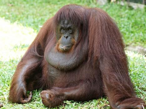3 - Orangutani nežijí v pevných svazcích. Dominantní samec si obsazuje poměrně velké území a zde se páří s více samicemi.