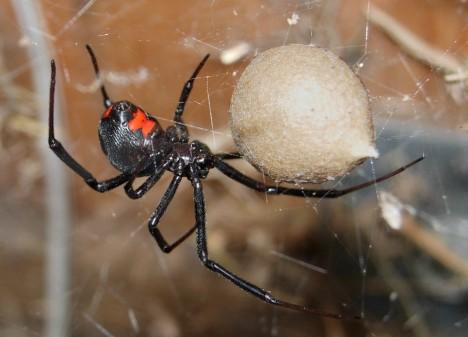 Black_Widow_Spider_07-04-20