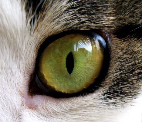 Protože kočky loví především vnoci, potřebují vynikající noční vidění. Kočičí oči mají za sítnicí další vrstvu zvanou tapetum lucidum. Ta odráží světlo zpět na sítnici azlepšuje se tak vnímání islabých světelných paprsků. Kočka tak vidí, ikdyž je úroveň světla sedmkrát nižší, než jakou by vnímal člověk. Stejný způsob odrazu světla je používán například udopravního značení.