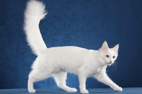 Domácí kočky jsou jediné svého druhu, který chodí socasem nahoru. Divoké kočky jej drží vodorovně, nebo skrývají mezi nohama. Ocas samotný má pro kočku velký význam, zejména při udržování rovnováhy apři skocích. Kočka má 250kostí aztoho je celých 10% vocase. Právě to je důležité pro dobré vyvažování při pohybu.