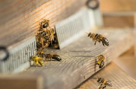 Včel rapidně ubývá. VČeské republice i jinde ve světě přicházejí včelaři každoročně o desítky procent včelstev.