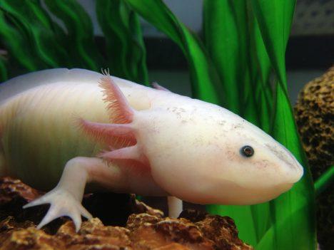 Takzvaný vodní dráček se odlišuje už tím, že na rozdíl od jiných obojživelníků zůstává i v dospělosti ve stadiu pulce. Jeho nejtajemnější vlastností je ale neuvěřitelná regenerace. Celá končetina či třeba žábra mu doroste za pár týdnů. Vědci dokonce zjistili, že pokud axolotlovi vyoperují nerv z paže a voperují jej na jinou část jeho těla, vyroste mu nová končetina právě tam.