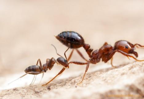 Argentinský mravenec patří k nejagresivnějším druhům, který bez milosti vyhlazuje ostatní kolonie.