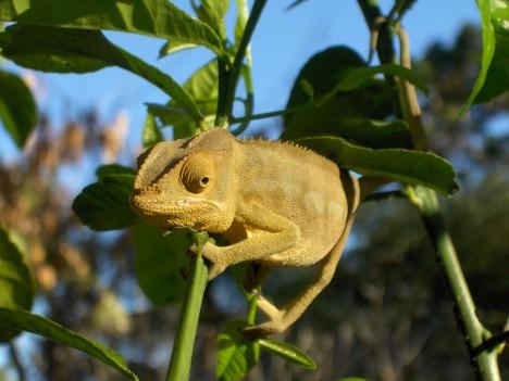 Pokud se chameleoni vyhřívají na sluníčku, jejich barva se změní na hnědou. Hnědá totiž daleko lépe přijímá teplo.