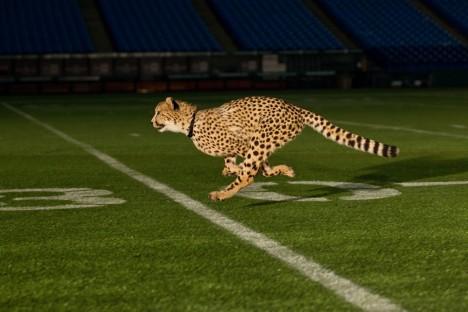 Analýza běhu obou zvířat ukázala, že kroky běžícího geparda jsou při stejné rychlosti o něco delší než u anglického chrta a také se odráží větší silou.