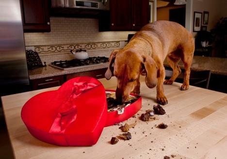 3. Čokoláda zabíjí psy -  Pro psy je čokoláda smrtelně nebezpečná. Obsahuje látky, které jsou pro ně ve vyšších dávkách toxické. Přes trávicí trakt se rychle vstřebají do krve a může dojít k otravě.
