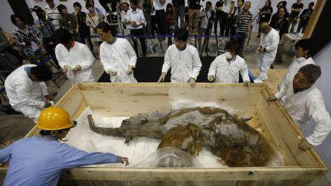 Skoro 40 tisíc let zůstalo pod ledem mamutí mládě, které bylo objeveno v květnu roku 2013 na Sibiři. Dostalo jméno Yuka.