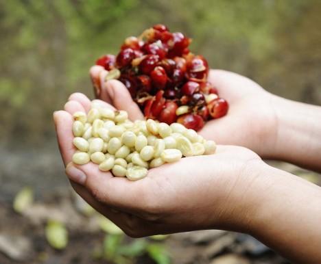 Kyselá chuť je kávě naprosto přirozená, jde totiž o ovocnou dřevinu, jejíž semena přebírají část chuti okolní dužiny.