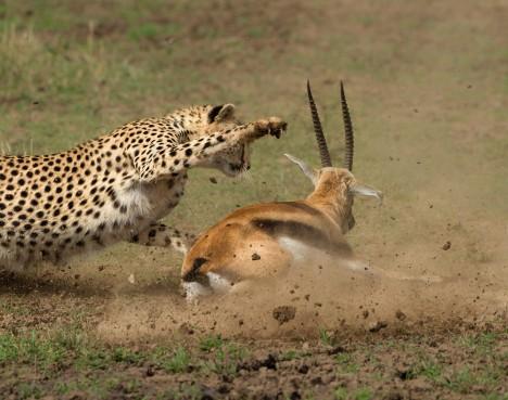Gepardi odchovaní v zajetí jsou znatelně pomalejší, než jejich divocí příbuzní. Chybí jim totiž trénink při opravdovém lovu.