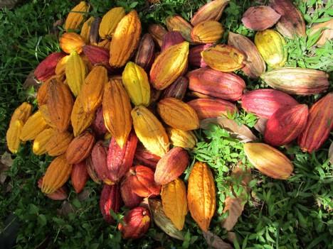 4. Jak roste čokoláda? -  Plody kakaovníku rostou přímo na kmeni. Když se odříznou a otevřou, teprve pak jsou vidět kakaové boby ve své surové podobě. V tuto chvíli ale ještě nejsou hnědé, obaluje je bílá slupka. Na světě existují 3 hlavní druhy stromů kakaovníku (Forastero, Criollo a Trinitario), jejichž boby mají každý svou charakteristickou chuť a vlastnosti. Kvalitní čokoláda vzniká až smícháním těchto tří druhů.