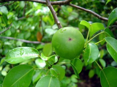 Lákavě vypadající plody jsou smrtelně jedovaté.