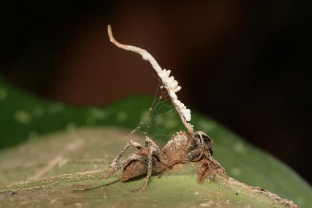 Houba úplně ovládá mravencovo chování.