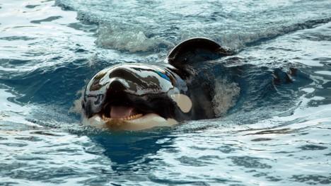 Některé druhy kosatek si vytvořily rafinovaný způsob lovu. Vytvoří před sebou vlnu, kterou smetou kořist ukrývající se v bezpečí na ledové kře.