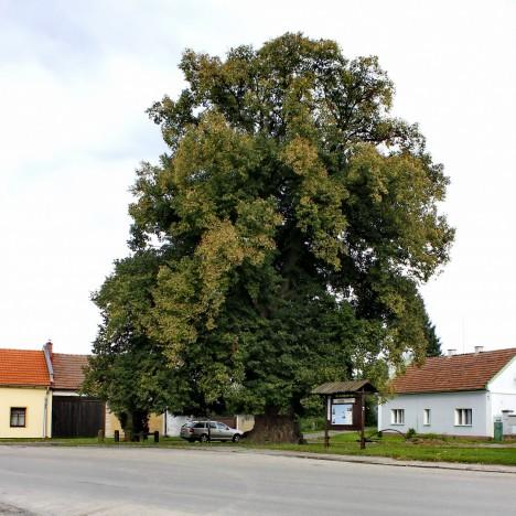 Lípa ve středočeské Staré Lysé se měla stát svědkem válečné porady husitů.