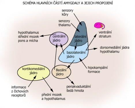 Schema_amygdala