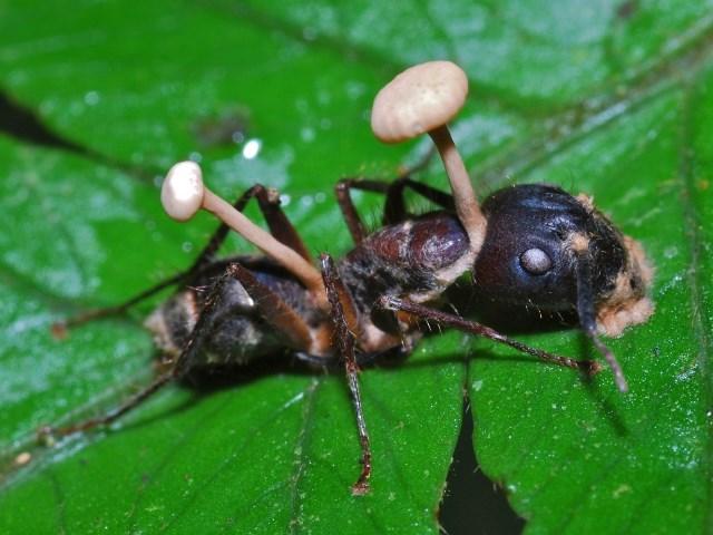Houba udělá z mravence chodící mrtvolu.
