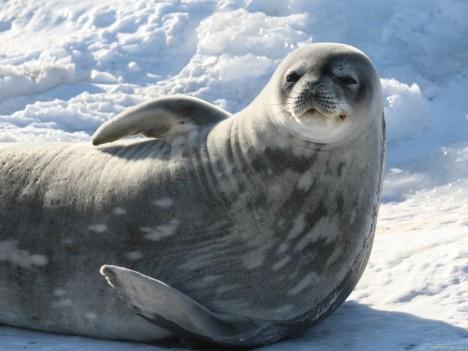 Tuleň Weddellův je oblíbenou kořistí kosatek, zřejmě kvůli své velikosti a tučnému masu.