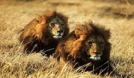 Homosexualita je běžná i v živočišné říši.
