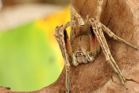 1. Palovčík brazilský (Phoneutria fere) Říká se mu také banánový pavouk, žije v Jižní Americe a je považován za nejjedovatějšího pavouka na světě. Jeho smrtící jed se dá srovnat s jedem chřestýše. Způsobí okamžité poruchy dýchání, ochrnutí a následné zadušení. Pavouk s rozpětí nohou až 16 centimetrů se často skrývá v trsech banánů, s nimiž putuje do supermarketů po celém světě.