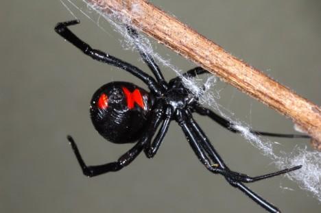 4. Černá vdova (Latrodectus) Právě ona má na svědomí nejčastější kousnutí od pavouků, jen v Severní Americe na 2500 ročně. Samičky měří až 8 centimetrů, jsou leskle černé a na zadečku mají výraznou červenou skvrnu. Jejich kousnutí se projeví nejdříve zarudlými tečkami, které silně pálí. Pak se dostaví silné bolesti svalů, křeče, nevolnost a ztížené dýchání.