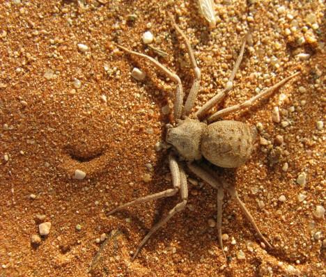 5. Písečný pavouk (Sicarius hahni) Sicarius znamená v latině vrah, a i když lidé po jeho kousnutí málokdy zemřou, účinky jsou velmi bolestivé. Drobný, pět centimetrů velký, pavouk žije zahrabán v písku pouští na jihu Afriky a čeká na kořist. Je dokázáno, že jeho jed dokáže do 5 hodin usmrtit králíka. Kousnutí tohoto pavouka způsobuje svalové křeče, řídnutí krve a rozpad tkání.