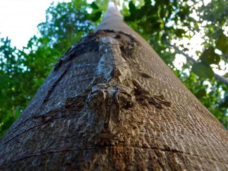 3. Gekoni: Naprosto dokonalou kamufláž má dvojice druhů gekonů z rodu Uroplatus a Rhacodactylus. Ti dokážou přes den díky svému zbarvení úplně splynout s větvemi či kmeny stromů. Druh Uroplatus pak má navíc ocas zakončený v přesné napodobenině tvaru uschlého listu, který připomíná i jeho tělo.