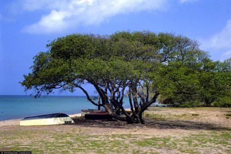 Strom vypouští ze své mízy jed.