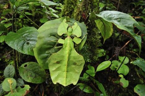 Hmyz Schopnost napodobovat tvarem a barvou těla okolní předměty se odborně nazývá mimetismus. V tomto umění jsou některé druhy hmyzu naprostými přeborníky. Nejvíce jich najdeme v tropických pralesích. Různé druhy pakobylek a brouků tu dokonale napodobují suché větvičky či listy.
