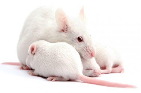 Teorii si vědci ověřili na myších.