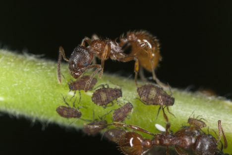 mravenec červený