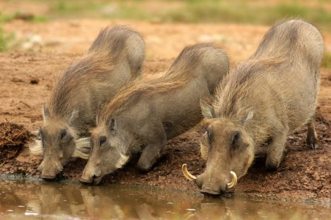Mother and baby warthog drinking in this portrait from Addo Elephant Park, Eastern Cape,South Africa