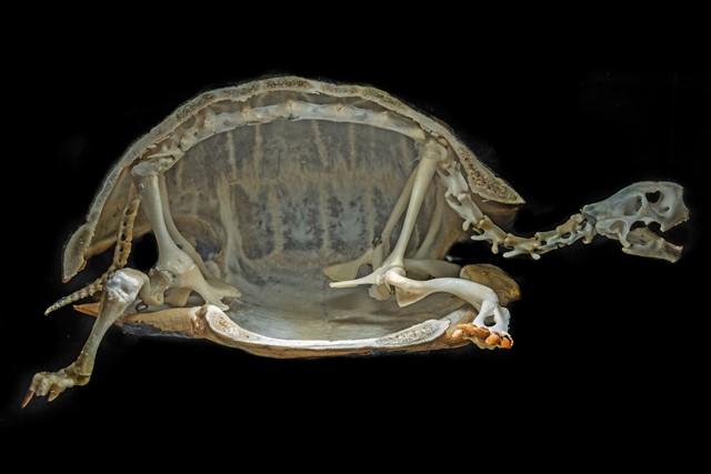 Kostru tvoří přibližně 60 kostí.