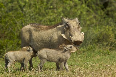 Warthog parent and its young standing at the edge of thick bush