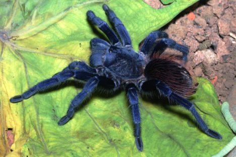 Zprávy o zvláštním modrém pavoukovi kolovaly mezi odborníky už v dřívějších letech, trvalo ale celých pět let, než se jej v obtížně přístupném horském terénu podařilo objevit. Aby vydrželi tamní střídání sucha a extrémních srážek, schovávají se pod kameny, kde zvládají teploty od 10 do 35 stupňů Celsia. Nejde však o úplně první modrou tarantuli, jiný druh byl objeven v roce 1996 v Thajsku.