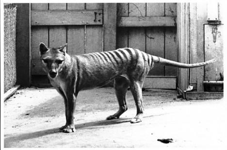 Poslední známý vakovlk.