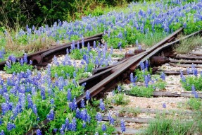 Bluebonnets on railroad track