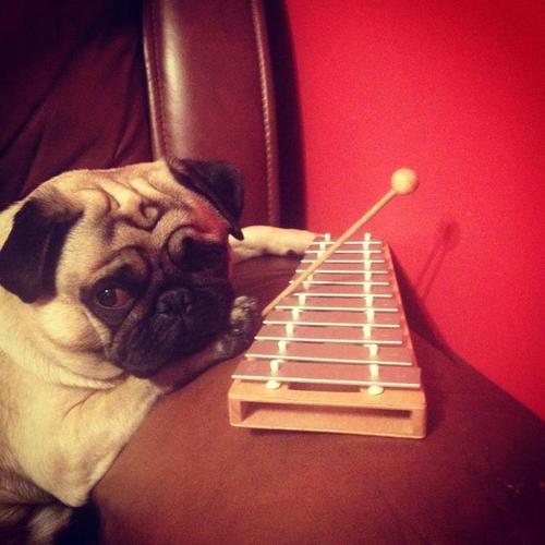 Pug with glockenspiel
