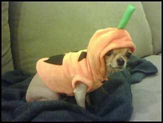 Dog wearing pumpkin costume