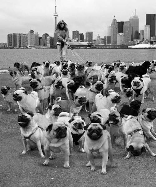 Pug walker